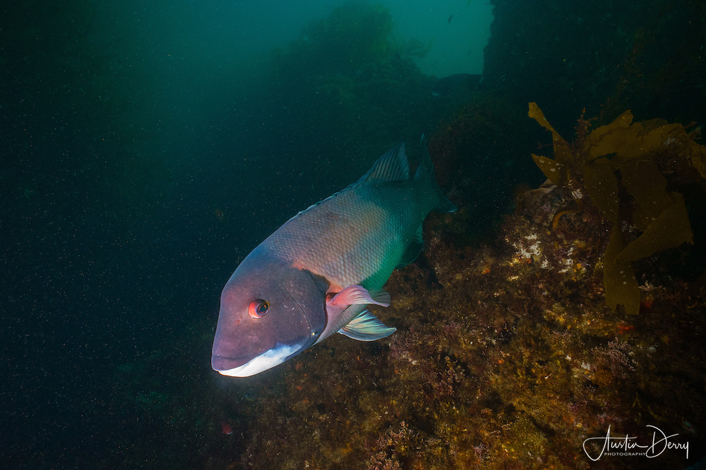 Male California Sheepshead