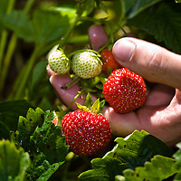 Strawberries being harvested.