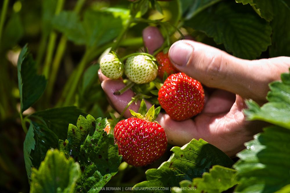 Strawberries being harvested.