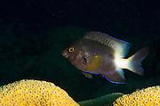 Bicolor Damselfish (Stegastes partitus) & Great Star Coral (Montastraea cavernosa)<br /> BONAIRE, Carribean<br /> HABITAT & DISTRIBUTION: Patch reefs and low-profile reef tops.<br /> South Florida, Bahamas, Carribean, Gulf of Mexico & Bermuda.