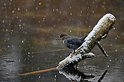 American dipper perched on a log over a pond along the Yaak River during a snowstorm in late fall. Yaak Valley in the Purcell Mountains, northwest Montana.