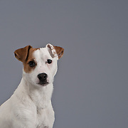 Jack Russell Terrier head and shoulders shot looking at camera with space for copy.