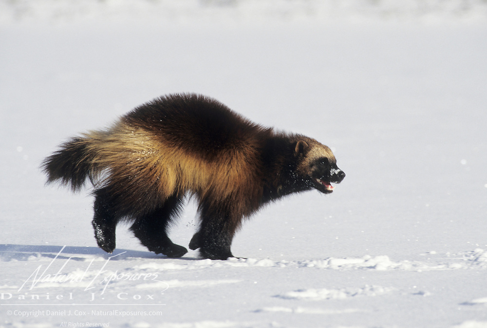 Wolverine adult running across a snowy clearing during winter in the Rocky Mountains of Montana. Captive Animal