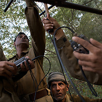 Mukhesh Saini (left), Assistant Field Officer, at Sariska National Park and colleagues including P.M. Sevda (right), Assistant Conservator of Forests use VHF receivers to track Sariska's two tigers, airlifted to the park from Ranthambore in June. Both cats wear transmitter collars. ..Sariska National Park in Rajasthan was once home to dozens of tigers but by 2005 poaching had resulted in their complete eradication. Recognising the urgent need for intervention, the Indian and Rajasthan-state governments began the reintroduction of tigers into Sariska. Two cats were airlifted 200 km from Ranthambore National Park in June 2008. On November 5th an attempt to relocate a third tiger was postponed until later in the month. This relocation strategy is certainly an important part of the tiger conservation effort but many, including those like Dharmendra Khandal of the NGO Tiger Watch, argue that it will never be entirely successful without properly confronting the three essential issues that threaten tiger populations: poaching, habitat loss and the hunting of prey-base animals. In turn, these three issues cannot be addressed without acknowledging the malign influence of caste, poverty and poor administrative accountability. Poaching is almost exclusively undertaken by extremely poor and marginalised groups, including the Mogia caste who, without education, land and access to credit have limited alternative means of income. Many in the Mogia community also hunt bush meat for both their own consumption and to sell to others. This results in a depletion of the prey-base upon which tigers feed. Encroachment and grazing by those including the Gujar people who raise dairy herds, have led to habitat loss in Sariska and other parks. To properly tackle the problem of hunting and encroachment, the government must provide alternative livelihoods for marginalised groups and relocate them to viable land before - rather than after - the re-introduction of tigers. Compounding all these is