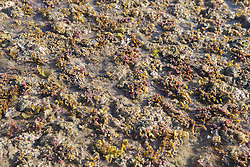 Seaweed and algae in a shallow pool in the intertidal zone on Macleay Island on the Kimberley coast.
