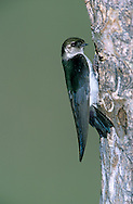 Violet-green Swallow - Tachycineta thalassina