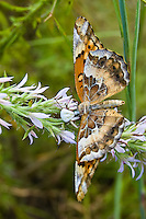 Goldenrod crab spider eating a variegated fritillary butterfly in the Lake Talquin State Forest in North Florida. This little camouflaged spider really blends in with these flowers where the butterfly feeds!