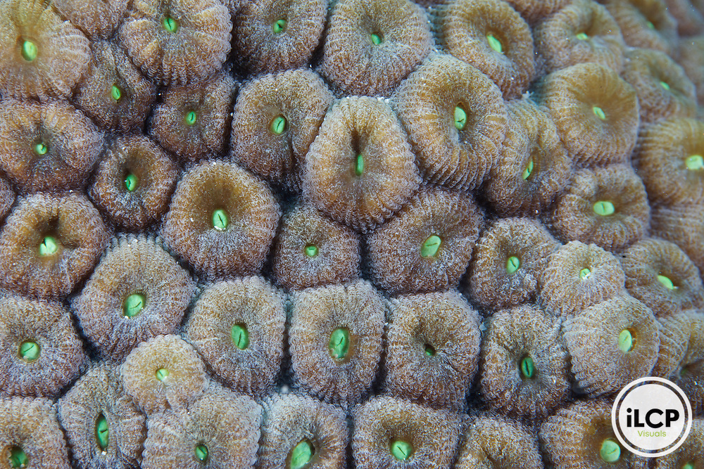 A closeup view of healthy small corallites (approximately 1 inch in diameter) that form a larger coral colony.  These are healthy coral polyps that are closed during daylight hours.  Corals are the building blocks within a coral reefs