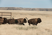 The Laramie Foothills Bison Conservation Herd charges onto the Soapstone Prairie Natural Area as it is released on National Bison Day, November 1, 2015.