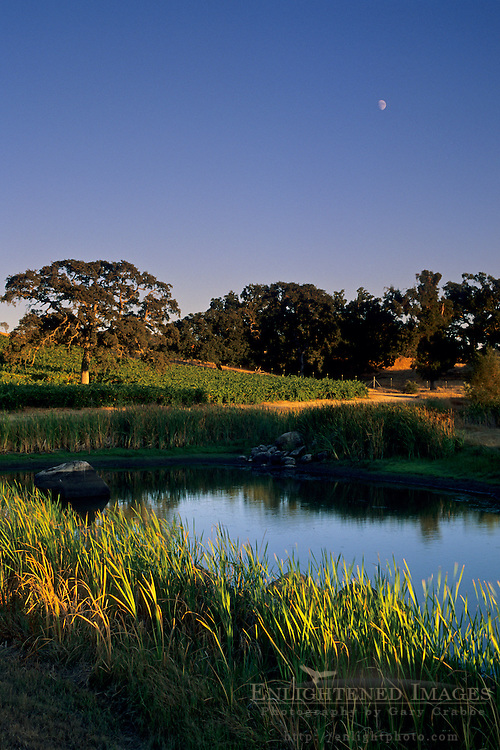 Moon over vineyards and pond, (Youngs) near Plymouth, Shenandoah Valley, Amador County, California