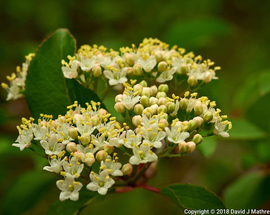 White flowers on a shrub. Image taken with a Fuji X-H1 camera and 60 mm f/2.4 macro lens.