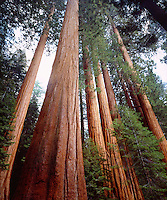 I position my camera to photograph this old growth redwood forest and give the trees a majestic look.