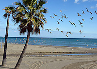 Seabirds, palms, palm trees, beach,Mediterranean, Mediterraneo, Estepona, Malaga, Andalucia, Andalusia, Spain, Espana, Costa del Sol, tourism, travel, holidays, 201302201139..Copyright Image from Victor Patterson, 54 Dorchester Park, Belfast, UK, BT9 6RJ..Tel: +44 28 9066 1296.Mob: +44 7802 353836.Voicemail +44 20 8816 7153.Skype: victorpattersonbelfast.Email: victorpatterson@me.com.Email: victorpatterson@ireland.com (back-up)..IMPORTANT: If you wish to use this image or any other of my images please go to www.victorpatterson.com and click on the Terms & Conditions. Then contact me by email or phone with the reference number(s) of the image(s) concerned.