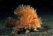 Hairy frogfish or Striated frogfish (Antennarius striatus) with lure. They are mostly bottom-dwelling fishes that are well camouflaged; they employ the first dorsal spine as a fishing lure to attract prey. | Haariger Anglerfisch (Antennarius striatus) - Anglerfische leben im flachen Wasser tropischer und subtropischer Meere.  |