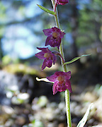 Det finnes over 30 ville orkideer i Norge. Rødflangre. The Dark Red Helleborine or Royal Helleborine (Epipactis atrorubens). The orchid grows at altitudes from sea level to 2400 m, and so can be found in mountainous regions such as the southern Alps. In Central Europe is the plant, like all orchid species, in decline in recent decades. It is not, however, one of the severely threatened species of orchid.