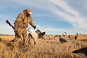 Canada Goose, Branta canadensis, Hunting, pea field, Saskatchewan, Canada
