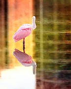 Roseate Spoonbill at Fort Myers Beach, Florida