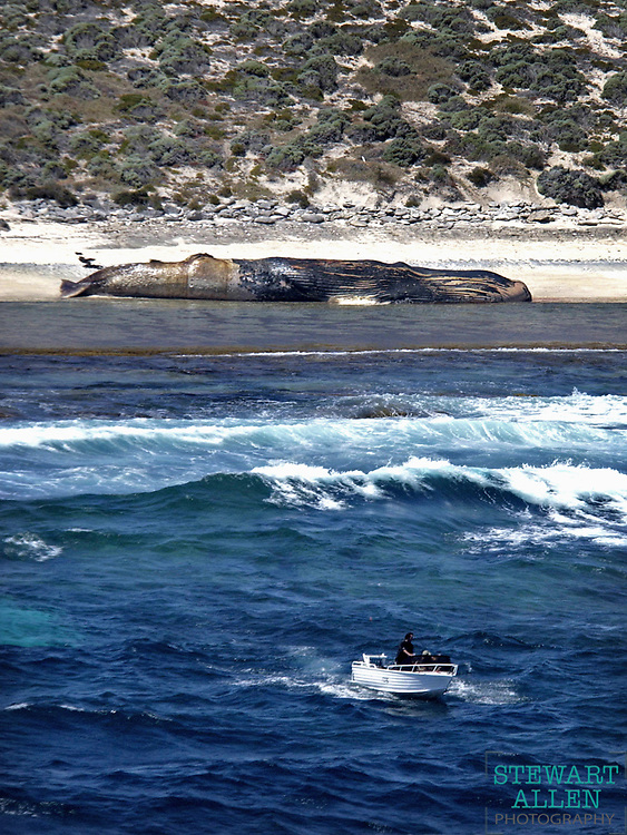 Best Spot News A 20 metre whale washed up at Strickland Bay on Rottnest Island  Sunday Times Photo: Stewart Allen