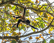 Juvenile spider monkey swings by tail from branch in tree while reaching for another branch, Monteverde Cloud Forest. © 2016 David A. Ponton