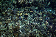 Coral reef seen from the dock at Jewelmer, which is a pioneer in the production of pearls with a natural golden color.  Shark Fin Bay.  Palawan, Philippines.