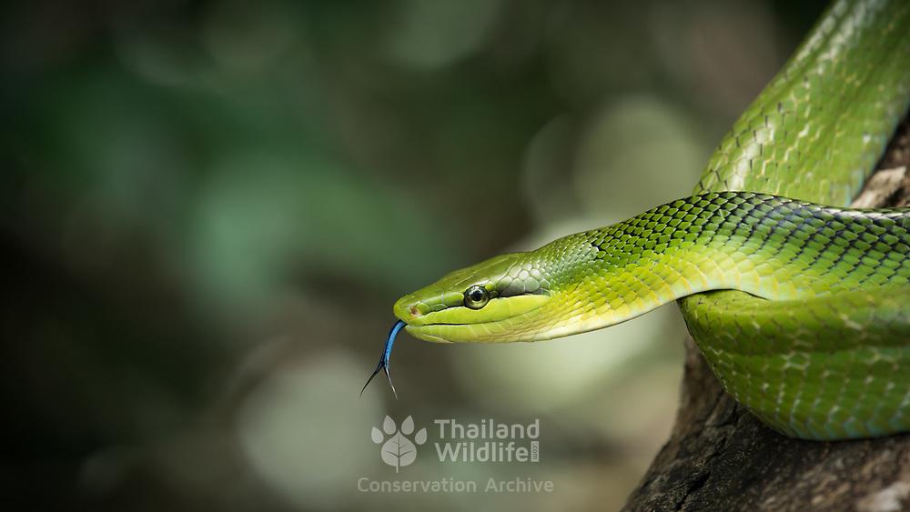 Red-tailed Racer (Gonyosoma oxycephalum) in Kaeng Krachan national park, Thailand