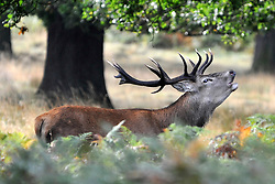 RICHMOND SURREY. An autumnal morning at the beginning of the rutting season in Richmond Park, London. The males begin calling out and clashing antlers during the the season when they will compete with each other for the attention of females. 02 October 2010