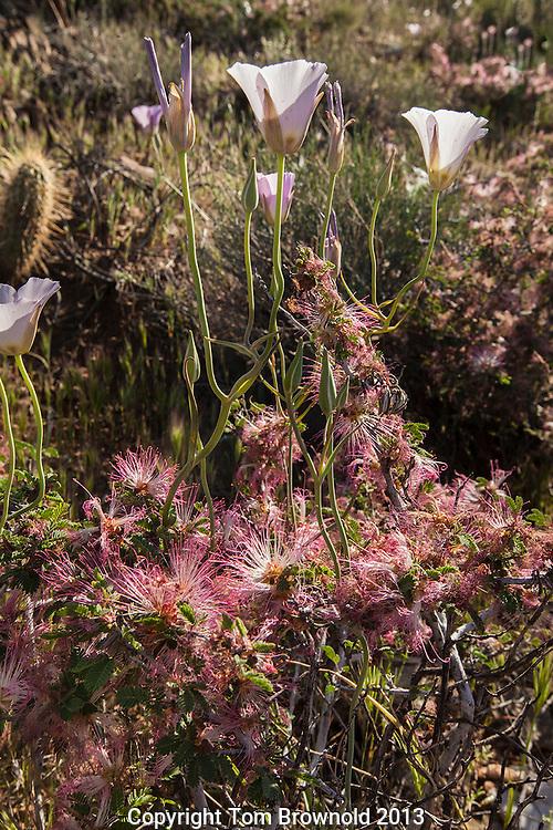 Sego Lily, Calochortus nuttallii and Fairy duster (Calliandra eriophylla) blooming in the Sonoran Desert, Arizona
