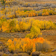 Fall Color, East Sierra