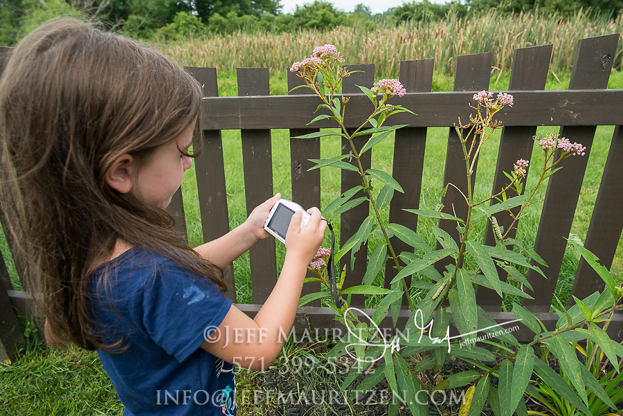 A young girl takes a photograph of Monarch catepillars crawling on milkweed plant near a residentail fence.