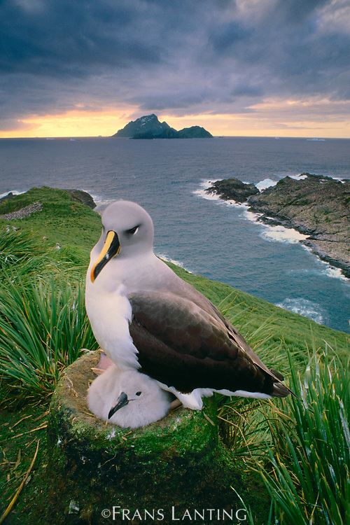 Gray-headed albatross and chick on nest, South Georgia Island