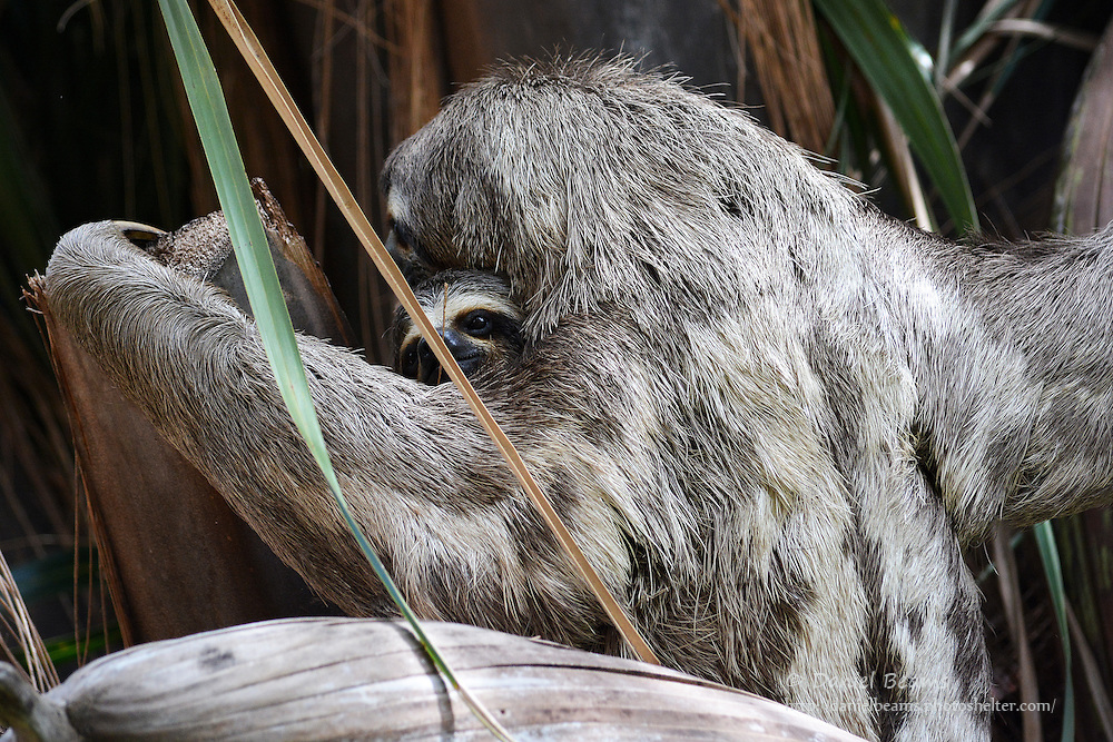 Mother and Baby Sloth in Santa Cruz, Bolivia