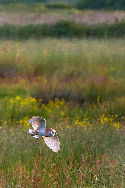 Barn owl, tyro alba, hunting at evening at Brading Down RSPB reserve, Isle of Wight