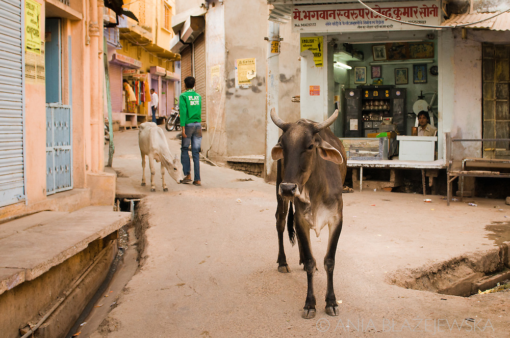 India, Bundi. Cows on the street.
