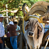 An ox cart driver rests his animal on a trip between Santa Cruz and Cartegena. Ox carts have been used in Guanacaste for hundreds of years. Although few are still built, all are used on a daily basis