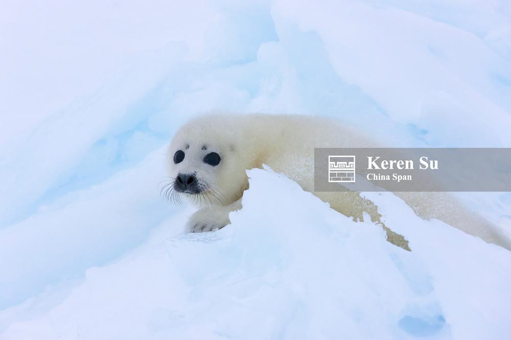 Harp Seal pup on ice, Iles de la Madeleine, Canada