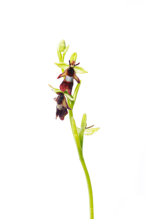 Fly Orchid, Ophrys insectifera, photographed in situ in a field studio, growing in an abandoned limestone quarry in the Peak District