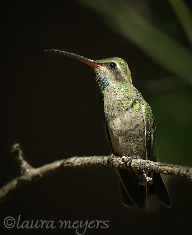 Broad-billed Hummingbird Subadult perched on a branch with a dark background.