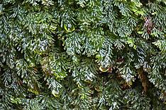 Platte vliesvaren, Hymenophyllum tunbrigense