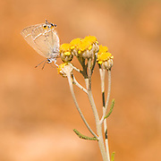 Gerhard's Black Hairstreak (Satyrium abdominalis) is a butterfly in the family Lycaenidae. Photographed in Israel in June