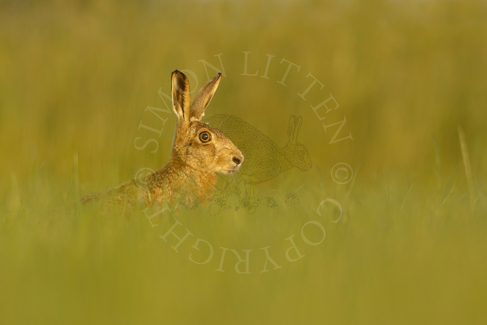 European Hare (Lepus europaeus) adult alert in grass meadow, South Norfolk, UK. June.