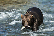 A large grizzly bear boar known as Braveheart carries a Dolly Varden trout after catching it in the upper McNeil River falls at the McNeil River State Game Sanctuary on the Kenai Peninsula, Alaska. The remote site is accessed only with a special permit and is the world's largest seasonal population of brown bears.