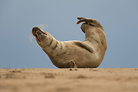 Grey seal (Halichoerus grypus) at Donna Nook, Lincolnshire, UK. Mission Wild Wonders of Europe,
