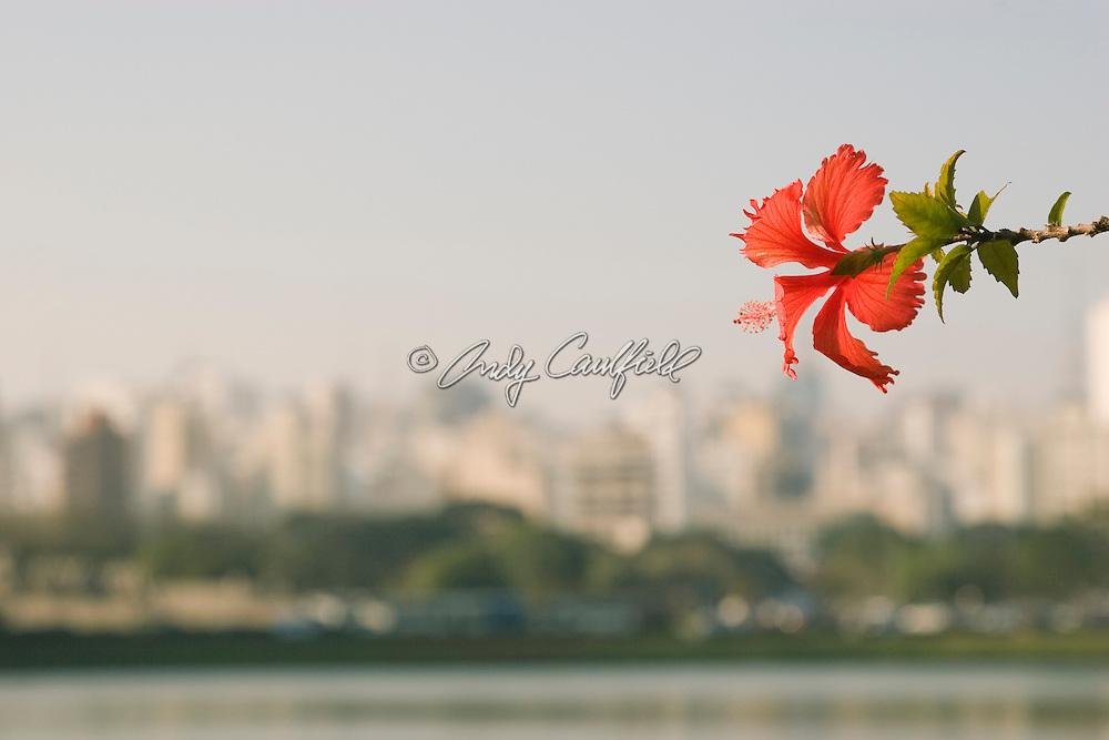 Hibiscus flower at Ibirapuera Park, Sao Paulo, Brazil.