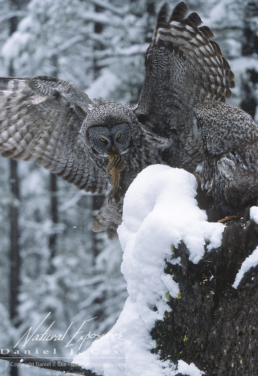 Great Gray Owl male comes to the nest with a rodent to feed the chicks. Montana