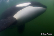 Luna, a lone male orca, or killer whale, Orcinus orca<br /> that separated from its pod, Vancouver Island, British Columbia, Canada