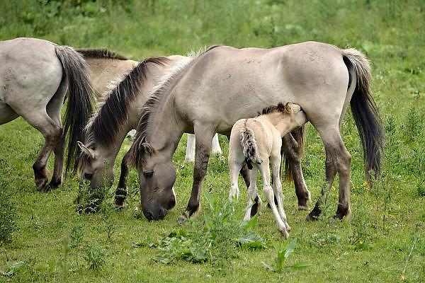 Nederland, Beuningen, 10-6-2014Een kudde Konikpaarden grazen in de uiterwaarde. De Konik leeft in kuddeverband. De wilde paarden zijn uitgezet in natuurgebieden door heel Nederland en doen het goed. Soms worden ze uitgezet in Oost-europa. Een veulen drinkt melk van de moeder, merrieFoto: Flip Franssen/Hollandse Hoogte