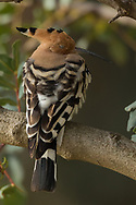 A Eurasian hoopoe catches a quick nap under a tree, Parc de l'Oreneta, Barcelona, Spain.