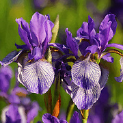 """Purple Iris Painting"" <br /> Beautiful purple Irises in oil paint!"