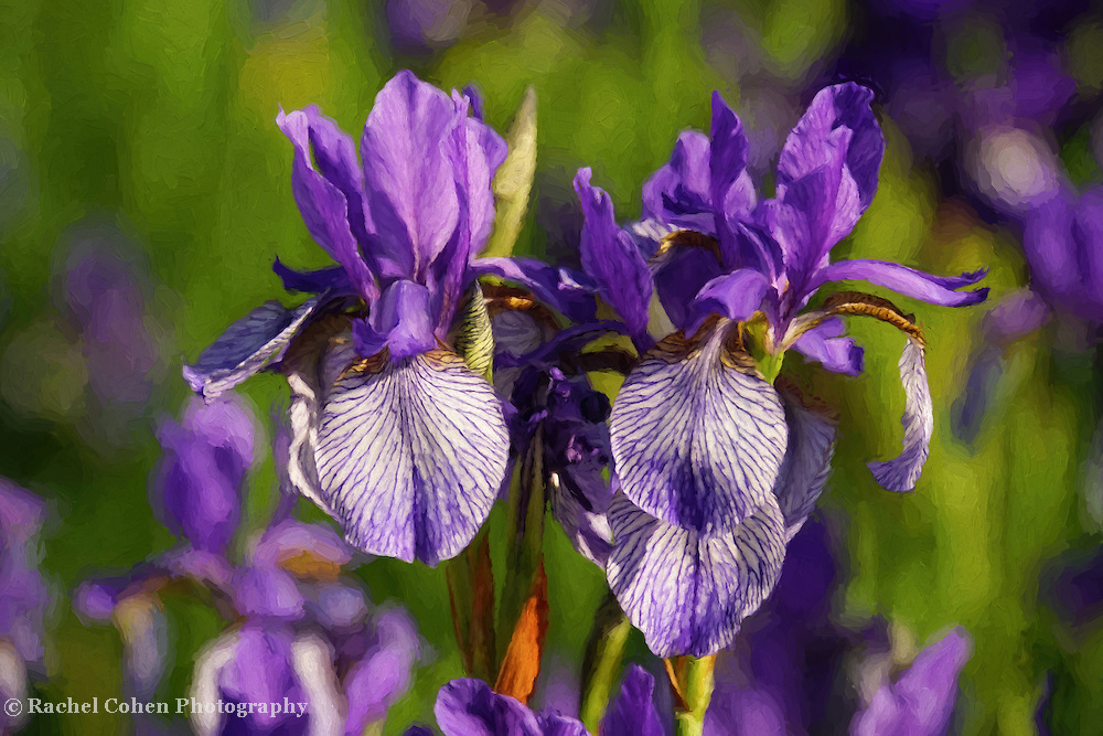&quot;Purple Iris Painting&quot; <br /> Beautiful purple Irises in oil paint!