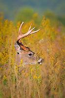 a whitetail buck hidden in a field of goldenrod